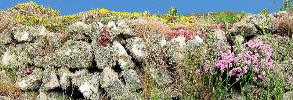 St Davids Head - stone wall with gorse and lichen